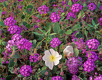 Spring wildflowers in desert, Desert Primrose and Verbena at Anza-Borrego State Park, California, AGPix_0587..