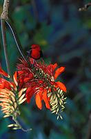 Crimson Honeyeater on coral bean tree. Tutuila, Am. Samoa
