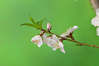 Peach tree (Prunus persica), buds opening, series, , Hill Country, Central Texas, USA
