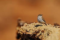 Rock Wren (Salpinctes obsoletus) near edge of Grand Canyon, Arizona.