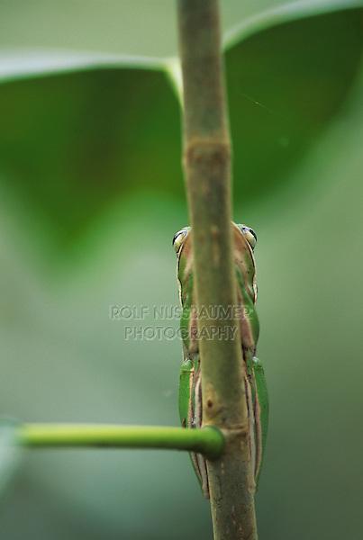 Green Treefrog, Hyla cinerea, adult resting, Corkscrew Swamp Sanctuary, Florida, USA