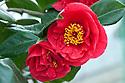 Camellia 'Satan's Robe', glasshouse, early February.