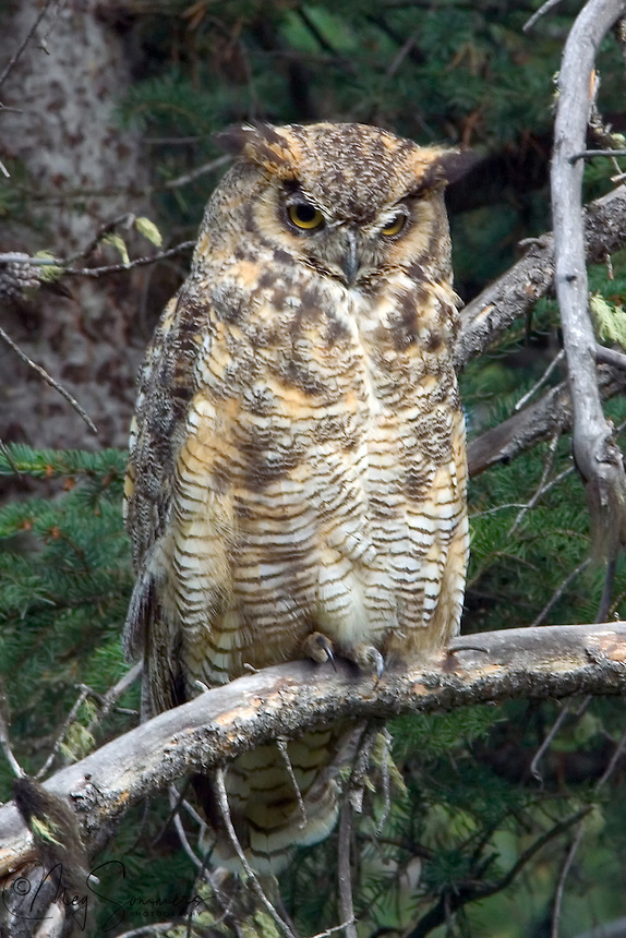 Yellowstone is home to a healthy population of Great Horned owls (Bubo virginianus). Distinctive tuffs over their ears give them their name.  Their call is a low-pitched but loud ho-ho-hoo hoo hoo; sometimes it is only four syllables instead of five. The female's call is higher and rises in pitch at the end of the call. Young owls make hissing or screeching sounds that are often confused with the calls of Barn Owls. Pebble Creek, Yellowstone.