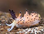 Ringed Favorinus , Favorinus tsurganus, Underwater macro marine life images;  Photographed in Tulamben; Liberty Resort; Indonesia.Underwater Macro Photographer on FB 2nd Annual event