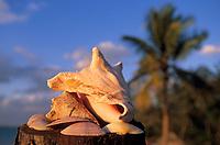 Iles Bahamas /Ile d'Andros/South Andros: Eco-Lodge-Tiamo-Resort sur la plage coquille de Conque et coquillages // Bahamas Islands / Andros Island / South Andros: Ecolodge-Tiamo-Resort on Conque shell beach and seashells