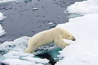 polar bear, Ursus maritimus, walking around the floating ice, Vulnerable (IUCN), Spitsbergen, Svalbard, Norway, Arctic Ocean, polar bear, Ursus maritimus