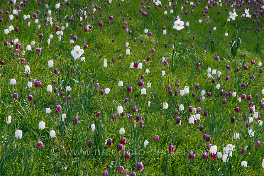 Schachblume, Schachbrettblume, Schachbrett-Blume, Kiebitzei, Fritillaria meleagris, snake's head fritillary, snake's head, chess flower, frog-cup, guinea-hen flower, leper lily, Lazarus bell, checkered lily, Blumenwiese, Feuchtwiese