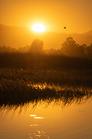 A goose flies at sunset over Sacramento National Wildlife Refuge, California