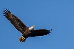 Damon, Texas; an adult bald eagle flying overhead against a blue sky