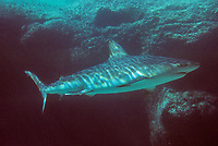 Iles Bahamas / New Providence et Paradise Island / Nassau: Hotel Atlantis à Paradise Island-les aquariums géants-requin // Bahamas / New Providence and Paradise Island / Nassau Islands: Hotel Atlantis at Paradise Island - Giant Aquariums, Shark