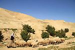 Judean desert, a flock of sheep in Ein Qelt