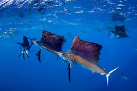 pelagic Atlantic sailfish, Istiophorus albicans or platypterus, attack bait ball of Spanish sardines (aka gilt sardine, pilchard, or round sardinella), Sardinella aurita, off Yucatan Peninsula, Mexico (Caribbean Sea) as a cooperative hunting group (22 sailfish visible in photo)