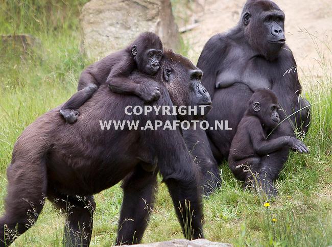 Apeldoorn, 080612<br /> Reportage Reiskrant.<br /> Apenheul, twee van de vier gorillababy's die vier juli hun eerste verjaardag vieren. Vooraan moeder Mandji en baby Iriki. Achter moeder Nemsi en baby M'Zungu.<br /> Foto: Sjef Prins - APA Foto
