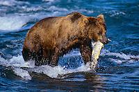 Coastal grizzly bear (Ursus arctos) with salmon (Ursus arctos).