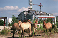 "UKRAINE, Chernobyl, 2005/07/27<br /> WILD HORSES - Przevalsky horses from the Ukrainian biosphere reserve Askania-Nova have been introduced into the closed zone a couple of years ago. As they are moving within an area of 3000 square kilometres, it is very difficult to meet them. On the picture they are captured in a magic moment when they ""posed"" to be photographed in front of the sarcophagus of the Chernobyl Unit No. 4 (Chernobyl, 27th July '05).<br /> © Vaclav Vasku/EST&OST..."