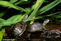 1R13-085z  Painted Turtle - young in pond - Chrysemys picta
