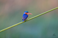 Malachite Kingfisher (Corythornis cristatus) shows off its brilliant blue wings as it scans the Chobe River for prey. We saw many of these tiny hunters in Botswana. They measure just over 5 inches (13cm) from beak tip to tail.