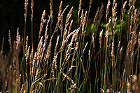 Glowing golden grass along the trail next the parking area at Redwood Regional Park appears to be pinegrass, native to California's redwood forests.