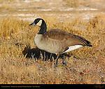 Canada Goose, Bosque del Apache Wildlife Refuge, New Mexico