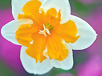 Close up of daffodil. Oregon