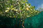 Mangroves. North Raja Ampat, West Papua, Indonesia