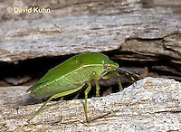 0720-07tt  Green Stink Bug - Acrosternum hilare - © David Kuhn/Dwight Kuhn Photography