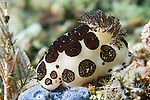 Anilao, Philippines; a Jorunna funebris nudibranch on the coral reef