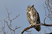 Great Horned Owl, San Angelo State Park