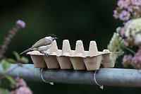 Sumpfmeise, Eierkarton, Eierschachtel, Eierpappe, Eierpappen wird mit Vogelfutter gefüllt und mit Kabelbindern am Geländer, Balkongeländer fixiert. Einweg-Futterschale, wenn die Pappe verschmutzt ist, kann sie einfach entsorgt und durch eine neue ersetzt werden. Vogelfütterung, Futterstelle auf dem Balkon, Dachterrasse. Sumpf-Meise, Nonnenmeise, Meise, Meisen, Poecile palustris, Parus palustris, marsh tit, tit, tits, La mésange nonnette