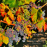 Ripening Merlot Grapes, Markham Vineyards, Napa Valley, California