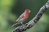 House Finch, Carpodacus mexicanus, male, South Llano River State Park, Texas, USA, April 2001