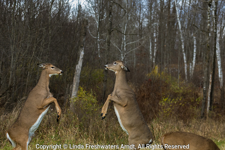 White-tailed does fighting in a northern Wisconsin field.