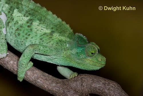 CH35-505z  Female Jackson's Chameleon or Three-horned Chameleon, close-up of face and eyes, Chamaeleo jacksonii