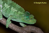 CH35-505z  Female Jackson's Chameleon or Three-horned Chameleon, close-up of face and eyes, Chamaeleo jacksonii