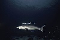 Silvertip Shark (Carcharhinus albimarginatus) swims with schooling Pilot Fish (Naucrates ductor), Cocos Island, Costa Rica - Pacific Ocean