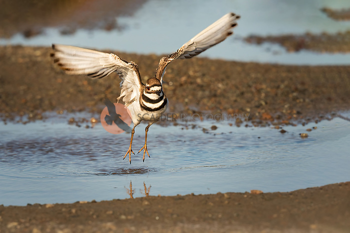 Killdeer taking off in flight from water with wings aloft and feet just above water