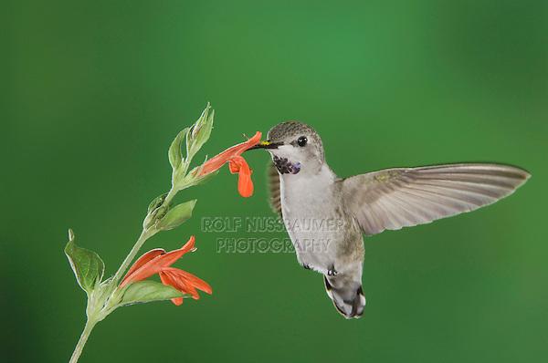 Costa's Hummingbird, Calypte costae, young male in flight feeding on Sage Flower,Tucson, Arizona, USA, September 2006