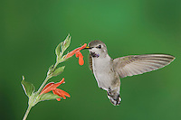 Costa's Hummingbird, Calypte costae, young male in flight feeding on Sage Flower,Tucson, Arizona, USA, September 2006