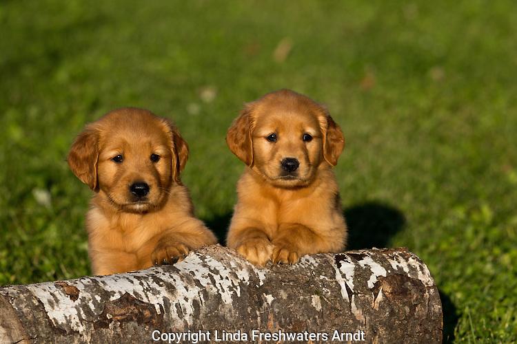 Goldern retriever puppies