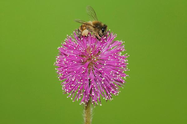 Honey Bee (Apis mellifera), adult feeding on Sensitive Briar (Mimosa nuttallii), Sinton, Corpus Christi, Coastal Bend, Texas, USA