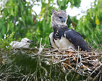Female harpy eagle female at nest with food for the chick
