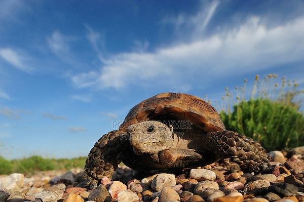 Texas Tortoise (Gopherus berlandieri), adult walking, Laredo, Webb County, South Texas, USA