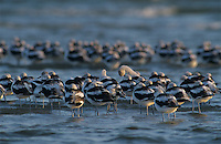 American Avocet, Recurvirostra americana, flock resting, winter plumage, Rockport, Texas, USA, December 2003