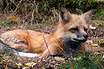 Red fox laying down