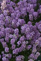 Lavandula angustifolia 'Cedar Blue'  English lavender
