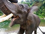 Sumatran Elephant (Elephas maximus sumatrans)(domestic). Gunung Leseur National Park, Sumatra, Indonesia.