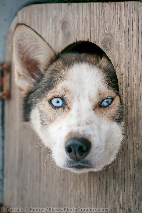 Iditarod Sled dog race, normally starts in Anchorage, Alaska, was re located to start in Fairbanks in 2003 due to poor snow conditions. Sled dog peers out of truck kennel door.