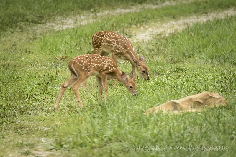 Twin White-tailed Deer twins, feeding in my rural Missouri yard
