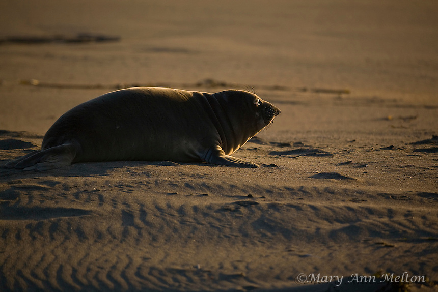 Northern Elephant Seal, pup  (Mirounga angustirostris); Piedras Blancas; San Simeon; California breeding grounds; rookery