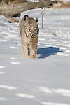 Canada Lynx (Lynx canadensis) walking in the snow